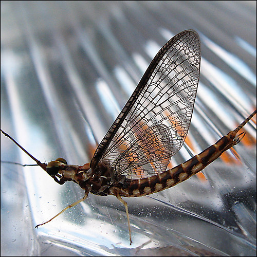 whatisthis macro bug dragonflies explore mayfly ephemeroptera lastdance justimagine canadiansoldier paleoptera thegoldendreams napix shotfly shortlifespanofadults 630speciesinnorthamerica wowididntknowthat