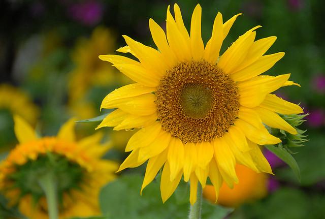 Sunflower, Sylvania, Ohio