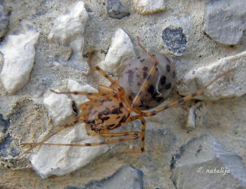 nature forest spider slovenia pajek natalija gozd narava macromarvels excapturemacro spectacularmacro npisec