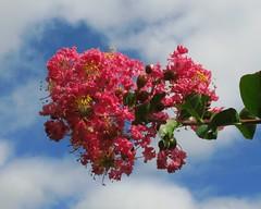 Crape myrtle / Lagerstroemia indica Linn. / 百日紅(サルスベリ)