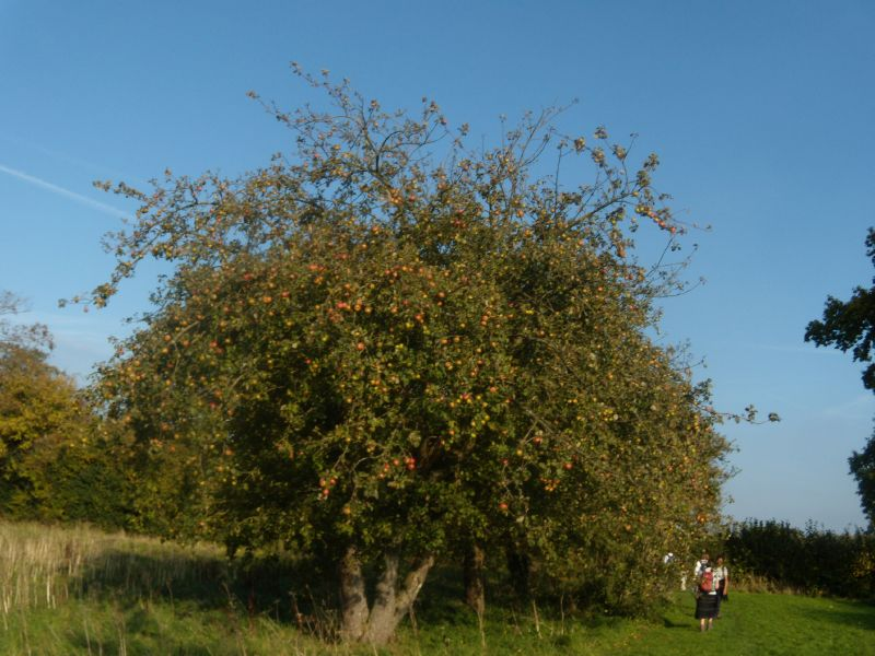 Caught in the act We passed this gang of apple scrumpers on the way. We tipped off the police, naturally. Cowden to Eridge