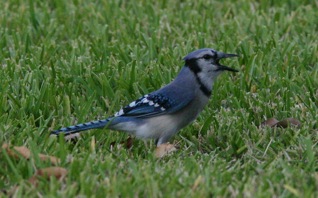 Blue Jay Calling 20081020