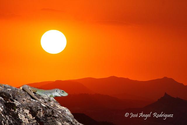 Lagarto ocelado en una puesta de sol