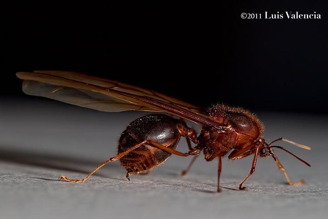 Sompopo Ants Www Picsbud Com