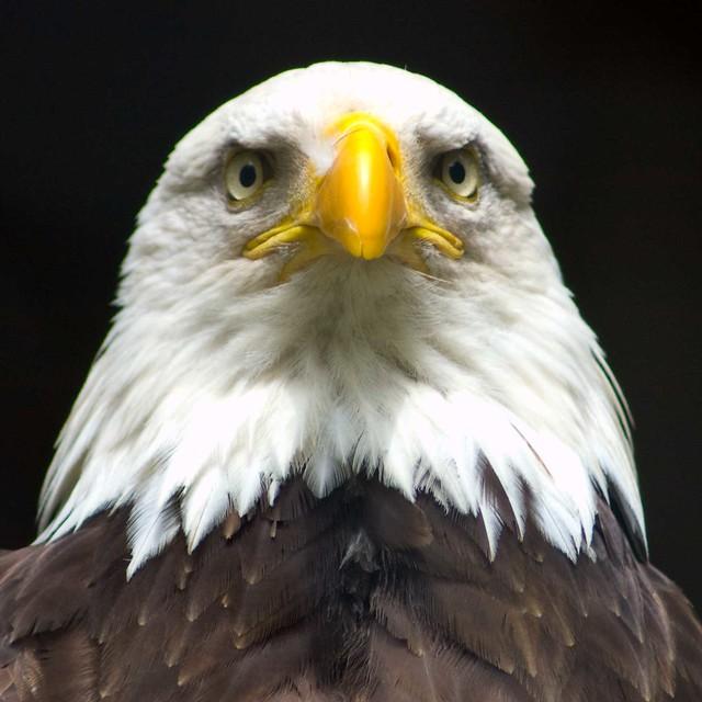 Bald eagle head front - photo#4