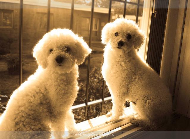 los perros caniche mirando a la camara