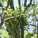 American mistletoe - Photo (c) Ryan Somma, some rights reserved (CC BY-SA)