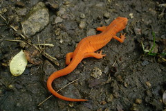 animal, amphibian, newt, reptile, fauna, scaled reptile, wildlife,