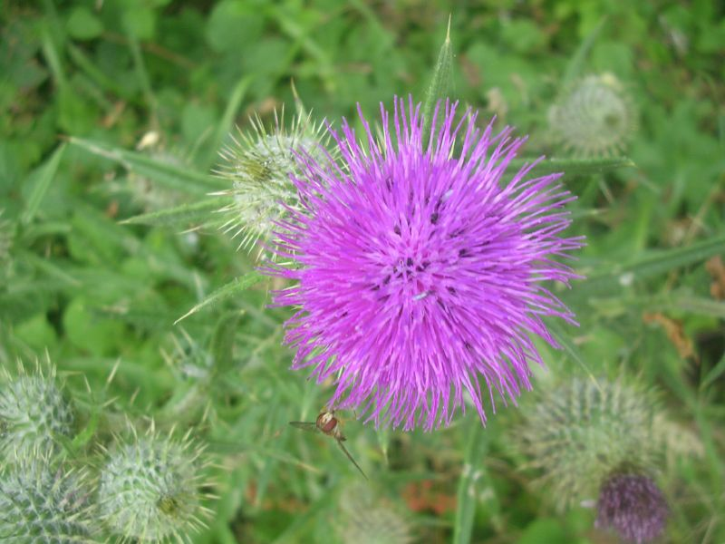 Thistle (with hoverfly) Lewes to Berwick via West Firle