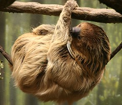 orangutan(0.0), new world monkey(0.0), whiskers(0.0), ape(0.0), wildlife(0.0), animal(1.0), three toed sloth(1.0), monkey(1.0), mammal(1.0), fauna(1.0),