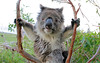 Koala by john white photos