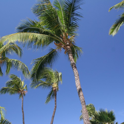 Towering palm trees against a cloudless, blue sky.