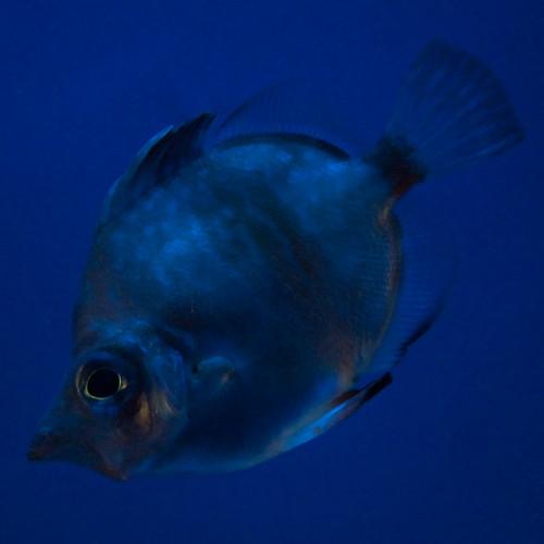 Pesce blu su sfondo blu