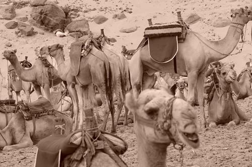Desde donde te deja la faluca (o barco) hasta el poblado hay que hacer un recorrido a camello. pueblo nubio de aswan - 2474561954 219c0ea4a2 - Pueblo Nubio de Aswan, Restos de aquella antigua cultura