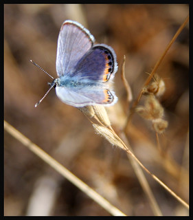 Acmon/Lupine Blue Butterfly