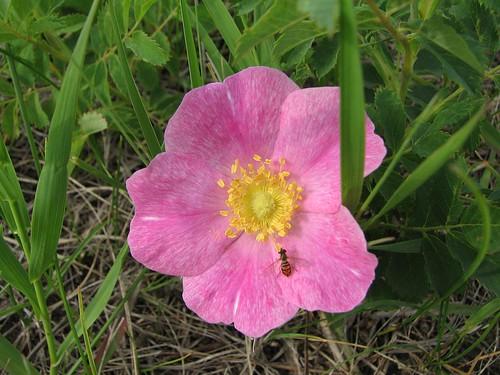 wild rose vw canon turkey volkswagen t north powershot nd jetta prairie sawyer dakota s3is