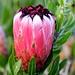 Protea at Kirstenbosch, Cape Town