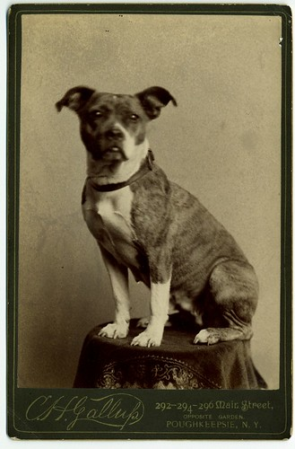 Small, brindle-marked dog posed on table in studio