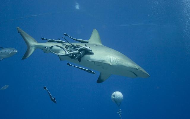 Grey Reef Shark med Whitefin Sharksucker's (Echeneis neucratoides) på Osprey Reef, Australia