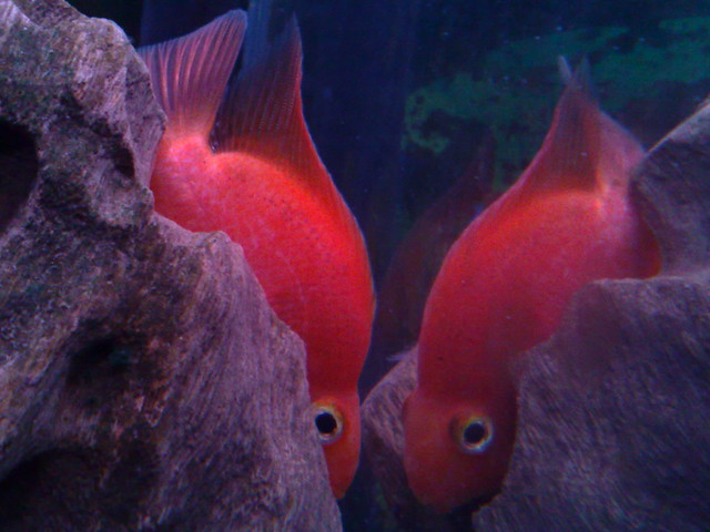 A 39 red blood parrot 39 fish in my aquarium flickr for Blood parrot fish