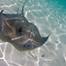 Southern Stingray - Photo (c) Jeff Kraus, some rights reserved (CC BY-NC)