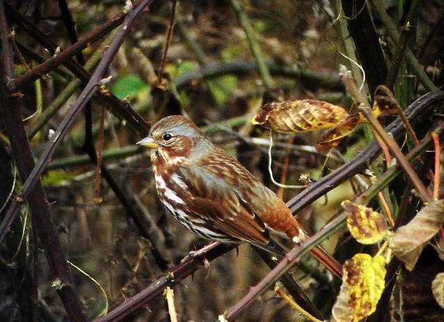 Red Fox Sparrow (Passerella iliaca iliaca)