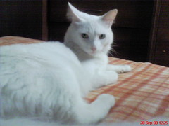 domestic long-haired cat, animal, turkish van, khao manee, small to medium-sized cats, pet, turkish angora, javanese, cat, carnivoran, whiskers, balinese, domestic short-haired cat,