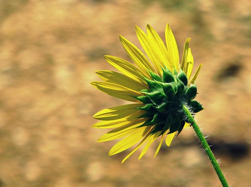 plants flower nature scenery sunflower vegetation hillcountry naturesfinest