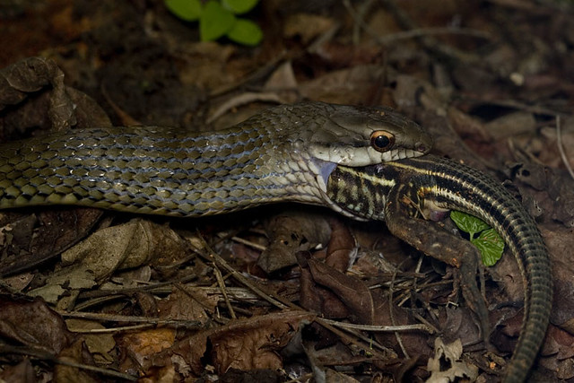 Snake Eating A Lizard Flickr Photo Sharing