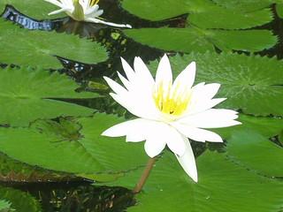 flor-de-lótus