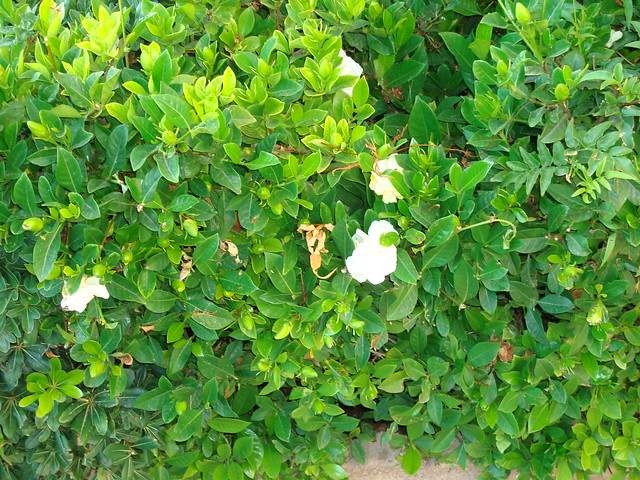 Gardenia Bush http://www.flickr.com/photos/11565147@N03/2792307841/