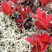 Small photo of Alpine bearberry