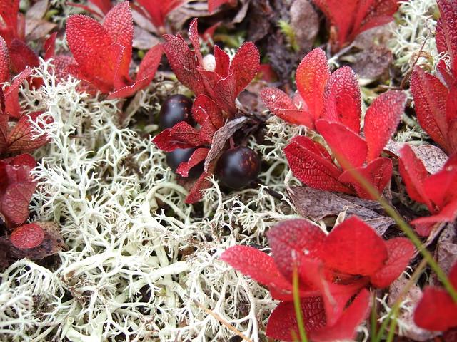 Header of Alpine Bearberry