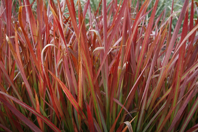 Ornamental grass at joy creek nursery flickr photo for Red landscaping grass