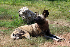 akita(0.0), caucasian shepherd dog(0.0), pet(0.0), animal(1.0), dog(1.0), mammal(1.0), fauna(1.0), lycaon pictus(1.0), wildlife(1.0),