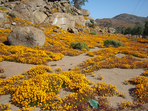 flower tour 2005 (78) - Namaqualand Wild Flower Tours, South Africa - Gerald Crawford