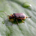 Purple Loosestrife Beetles - Photo (c) Michael, some rights reserved (CC BY-NC)