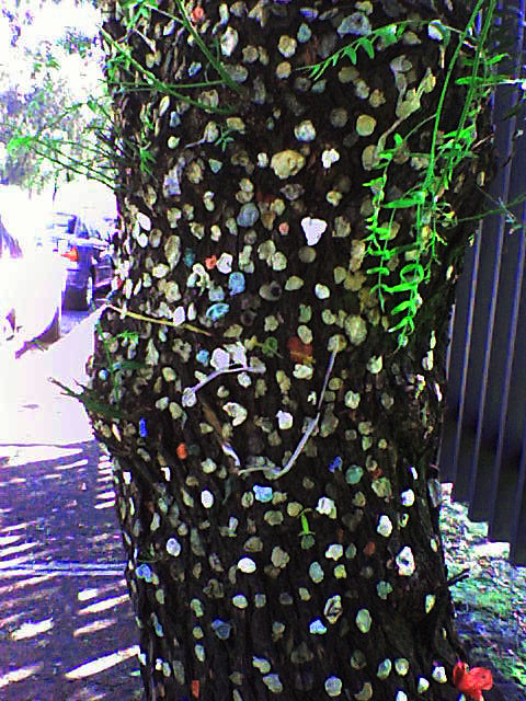 Arbol De Chicle http://www.flickr.com/photos/nimmue/2970634814/