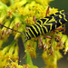 Locust Borer - Photo (c) Lisa Brown, some rights reserved (CC BY-NC)