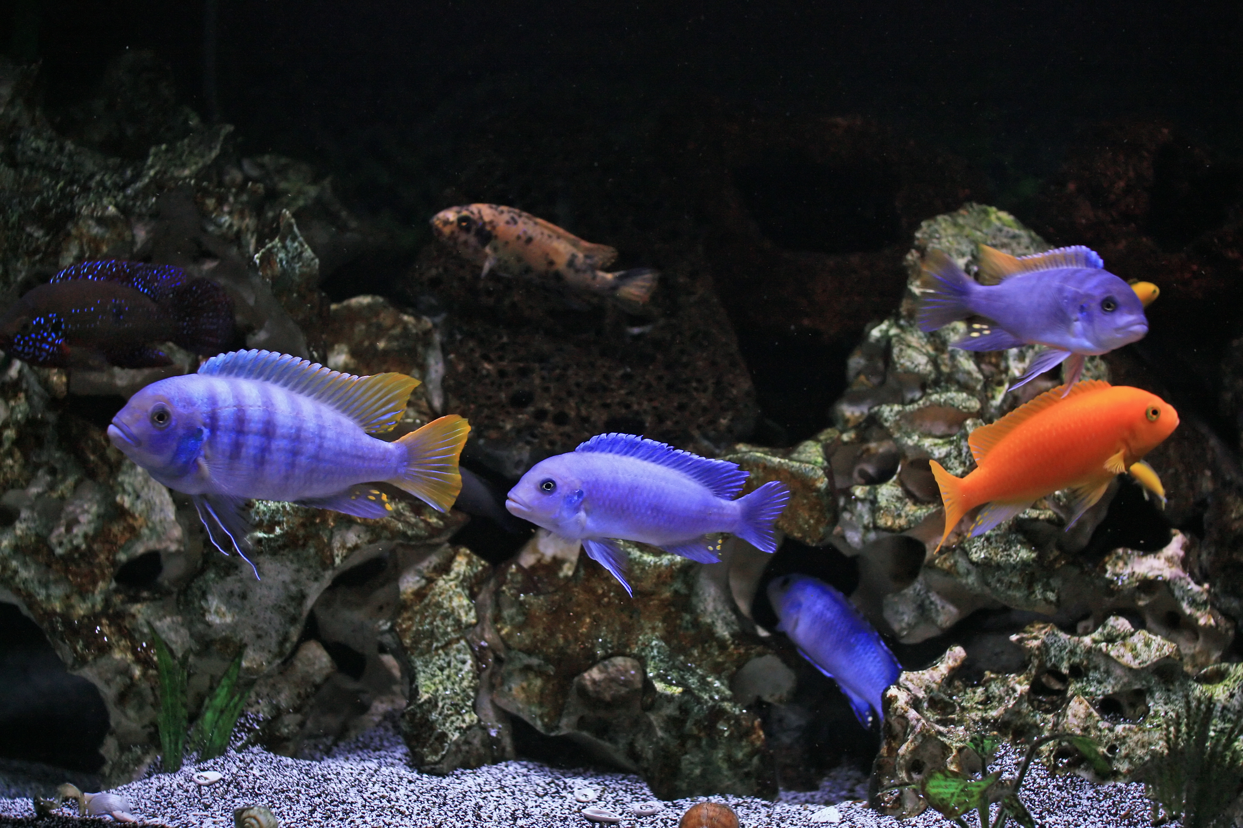 African cichlid tank flickr photo sharing for Keeping fish