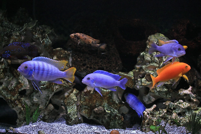 Among the Malawi cichlid I