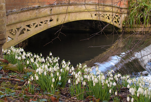 Snowdrops by the River Lambourn at Welford Park in Berkshire