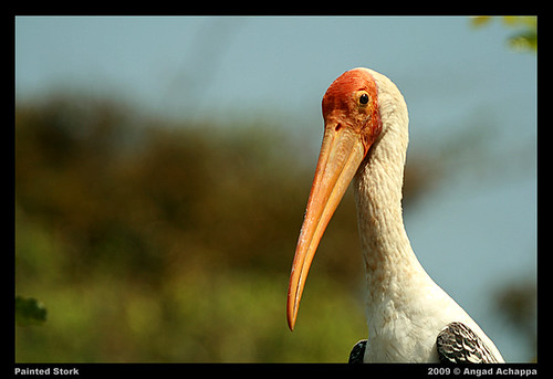 Painted Stork - portrait EXPLORE: Mar 2, 2009 #17