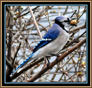 Another Blue Jay Peanut Thief Portrait