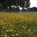 Small photo of Dandelion sea, Admiralty House