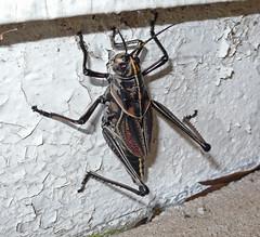 arthropod(1.0), locust(1.0), animal(1.0), cricket(1.0), wing(1.0), invertebrate(1.0), insect(1.0), grasshopper(1.0), fauna(1.0), true bugs(1.0),