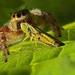 Jumping Spider (Phidippus princeps)