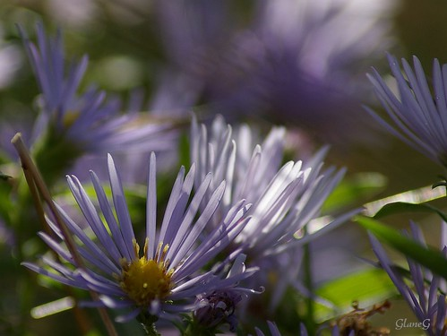 Fall Flora - Asters