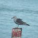 Danger Gull