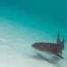 Nurse Shark - Photo (c) Jeff Kraus, some rights reserved (CC BY-NC)